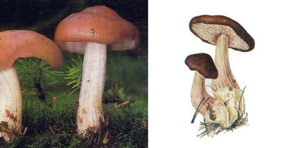 Коллибия каштановая, или коллибия масляная, или коллибия маслянистая, или коллибия рыжевато-серая, или денежка каштановая - Collybia butyracea (Fr.) Kumm.