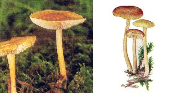 Коллибия лесолюбивая, или коллибия дуболюбивая, или коллибия обыкновенная, или денежка обычная, или опенок весенний - Collybia dryophila (Fr.) Quel.