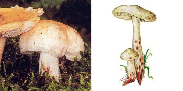 Коллибия пятнистая - Collybia maculata (Fr.) Kumm.