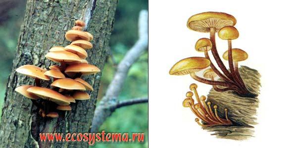 Опенок зимний, или зимний гриб, или фламмулина бархатистоножковая - Flammulina velutipes (Fr.) Sing.
