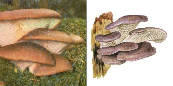 Вешенка обыкновенная, или вешенка устричная, или устричный гриб - Pleurotus ostreatus (Fr.) Kumm.