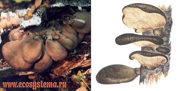 Вешенка осенняя, или свинуха ивовая, или паннелюс поздний, или вешенка поздняя, или вешенка ольховая - Panellus serotinus, или Pleurotus salignus (Fr.) Kumm., или Hohenbuehelia serotina, или Sacromyxa serotina