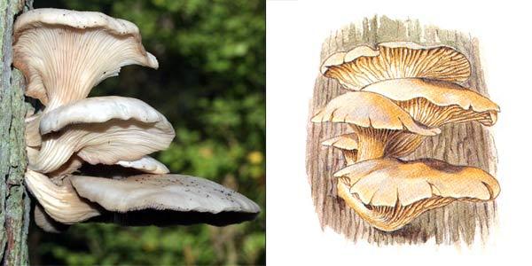 Вешенка рожковидная, или вешенка обильная - Pleurotus cornucopia (Paul.) Rolland