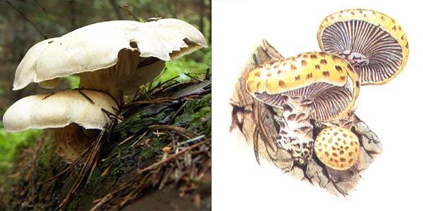 Пилолистник чешуйчатый, или шпальный гриб - Lentinus lepideus (Fr.) Fr., или Lentinus squamosus Quel.