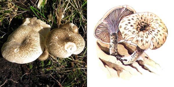 Пилолистник тигровый - Lentinus tigrinus (Fr.) Fr., или Panus tigrinus (Fr.) Sing.