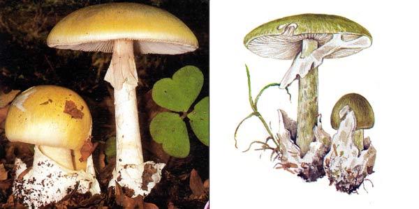 Бледная поганка, или бледная поганка зеленая, или мухомор зеленый - Amanita phalloides (Fr.) Secr.