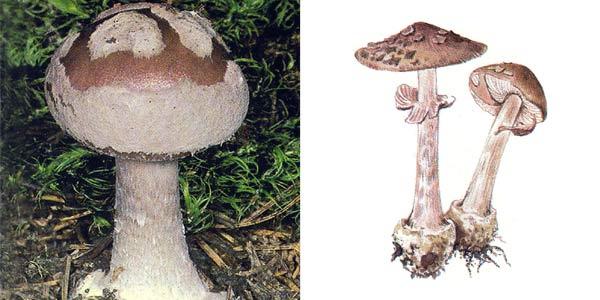 Мухомор порфировый, или мухомор пурпуровый, или мухомор серый - Amanita porphyria (Fr.) Secr., или Amanita mappa (Batsch) Quel.
