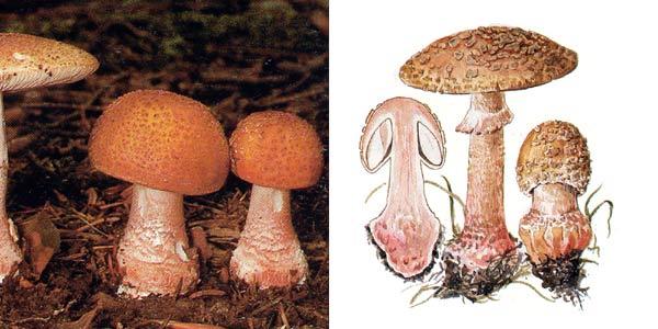 Мухомор серо-розовый, или мухомор серо-розовый - Amanita rubescens (Fr.) S.F. Gray.