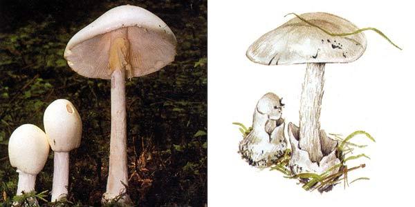 Мухомор вонючий, или мухомор белый вонючий, или мухомор ядовитый, или белая поганка, или бледная поганка белая – Amanita virosa Secr.