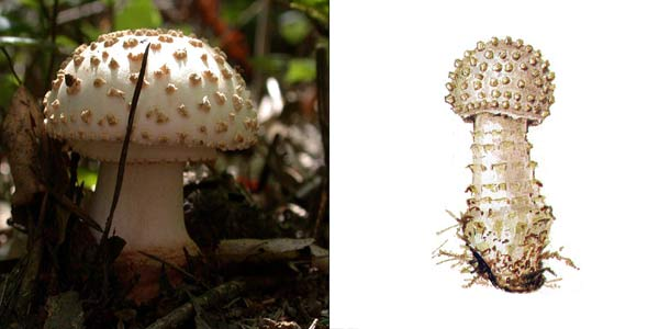 Мухомор щетинистый - Amanita echinocephala (Vitt.) Quel.