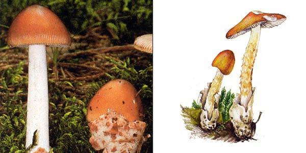 Поплавок шафрановый, или толкачик шафранный - Amanitopsis crocea (Quel.) Gill.