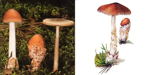 Поплавoк желто-коричневый, или толкачик желто-коричневый, или мухомор желто-коричневый, или поплавок оранжевый - Amanitopsis fulva W. G. Smith., или Amanita fulva