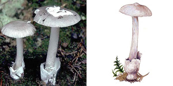 Поплавoк белый, или толкачик белый - Amanitopsis alba Gill.