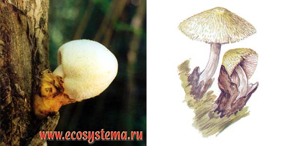 Вольвариелла шелковистая, или вольвариелла бомбицина - Volvariella bombycina (Fr.) Sing.