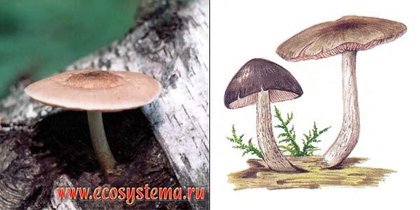 Плютей олений, или плютей бурый, или плютей темно-волокнистый, или олений гриб - Pluteus cervinus (Fr.) Kumm., или Pluteus atricapillus