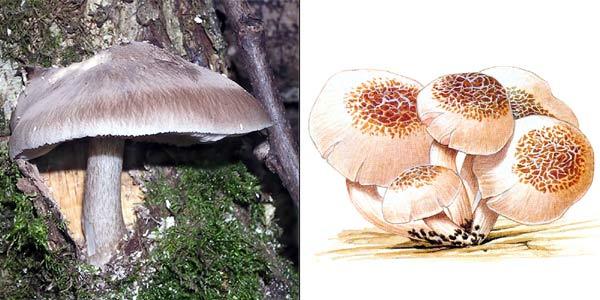 Плютей белый - Pluteus pellitus (Fr.) Kumm.