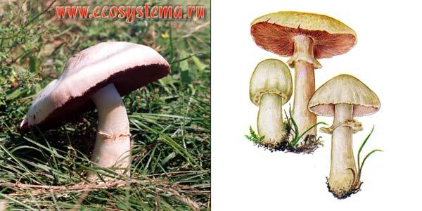 Шампиньон полевой - Agaricus arvensis Fr.