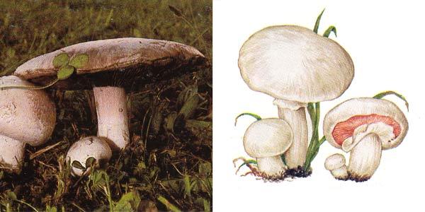 Шампиньон луговой, или шампиньон обыкновенный, или печерица - Agaricus campestris Fr.