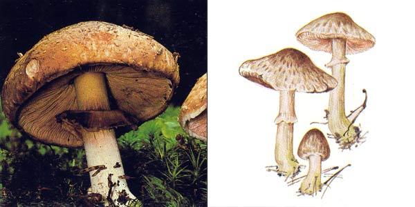 Шампиньон лесной, или благуша, или благушка - Agaricus silvaticus Secr.