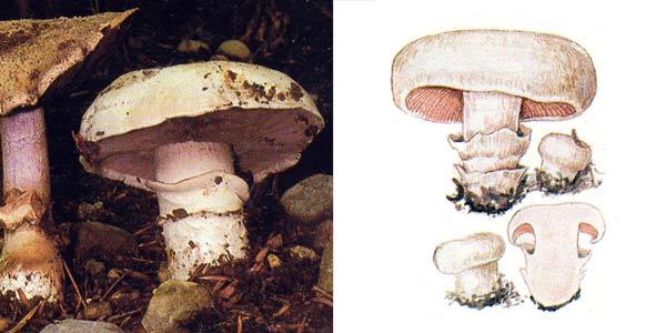 Шампиньон двукольцевой, или шампиньон обыкновенный, или шампиньон тротуарный - Agaricus bitorques (Quel.) Sacc.