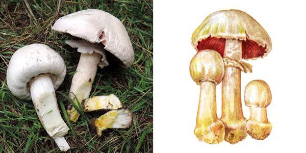 Шампиньон желтокожий - Agaricus xanthoderma Gen.
