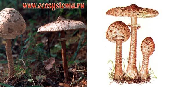Гриб-зонтик большой, или зонтик пестрый, или лепиота крупная - Macrolepiota procera (Fr.) Sing.