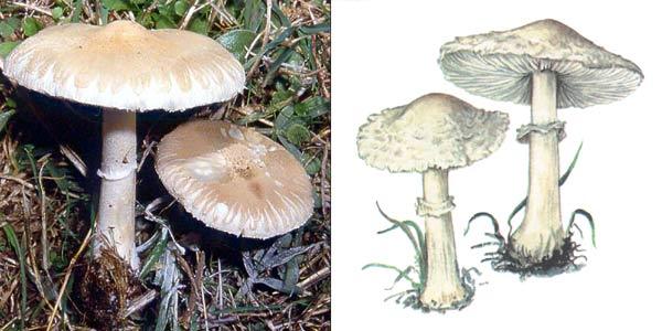 Гриб-зонтик белый, или гриб-зонтик полевой - Macrolepiota excoriata (Fr.) Mos.