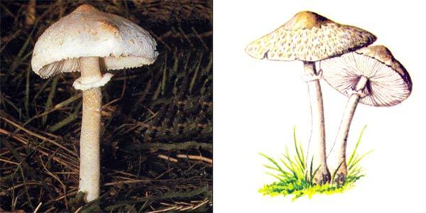 Гриб-зонтик сосцeвидный - Macrolepiota mastoidea (Fr.) Sing.