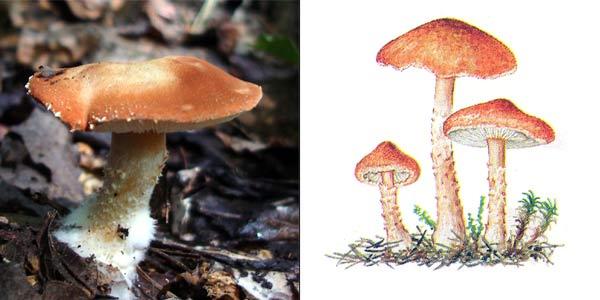 Цистодерма красная, или цистодерма киноварно-красная, или зонтик красный - Cystoderma cinnabarinum (Secr.) Fayod