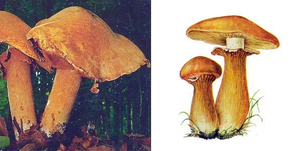 Чешуйчатка травяная, или феолепиота золотистая, или зонтик золотистый, или горчичник - Phaeolepiota aurea (Fr.) Maire, или Pholiota aurea, или Lepista pyranaea, или Cystoderma aureum