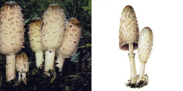 http://www.ecosystema.ru/08nature/fungi/207.jpg