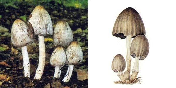 Навозник серый, или навозник чернильный - Coprinus atramentharius (Fr.) Fr.