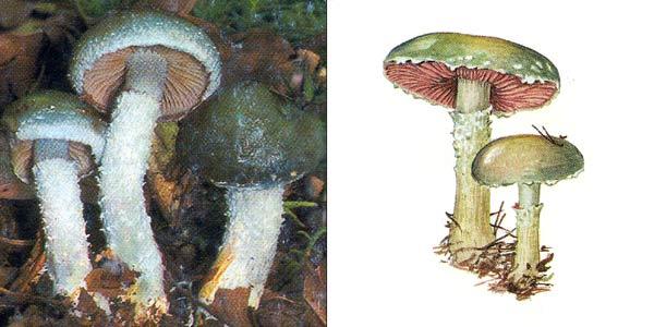 Стрoфария сине-зеленая - Stropharia aeruginosa (Fr.) Quel.
