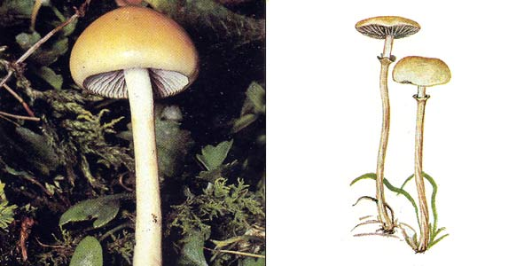 Строфария полушаровидная - Stropharia semiglobata (Fr.) Quel.