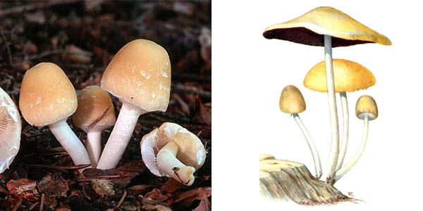 Псатирелла Кандолля, или гифолома Кандолля, или ложный опенок Кандолля - Psathyrella candolleana (Fr.) Maire, или Hypholoma candolleanum (Fr.) Quel.
