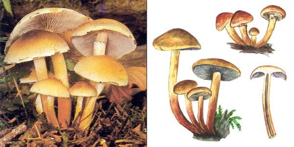 Ложноопенок серопластинчaтый, или ложноопенок маковый, или опенок сосновый, или опенок серопластинковый, или гифолома головообразная, или гифолома коричневая, или гифолома охряно-оранжевая - Hypholoma capnoides (Fr.) Kumm.