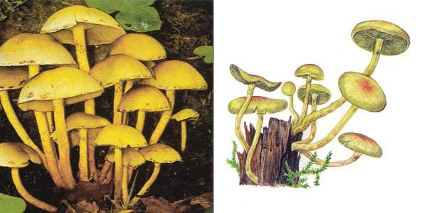 Ложноопенок серно-желтый, или гифолома серно-желтая, или опенок серно-желтый - Hypholoma fasciculare (Fr.) Kumm., или Naematoloma fasciculare