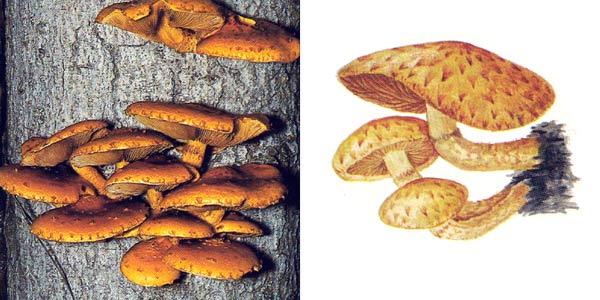 Чешуйчатка золотистая, или чешуйчатка золотисто-желтая, или чешуйчатка серно-желтая, или ивняк - Pholiota aurivella (Fr.) Kumm.