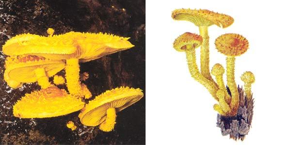 Чешуйчатка огненная - Pholiota flammans (Fr.) Kumm.