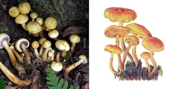 Чешуйчата ольховая, или огневка ольховая - Pholiota alnicola (Fr.) Sing.