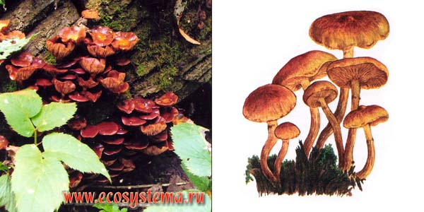 Чешуйчатка жирная - Pholiota apidosa (Fr.) Kumm.