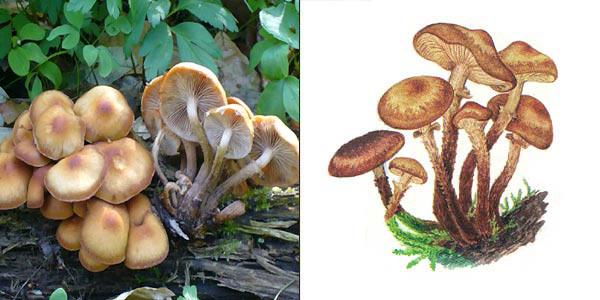 Опенок летний, или кюнеромицес изменчивый, или опенок липовый, или говорушка - Kuehneromyces mutabilis (Fr.) Sing. Et. A.H. Smith., или Pholiota mutabilis