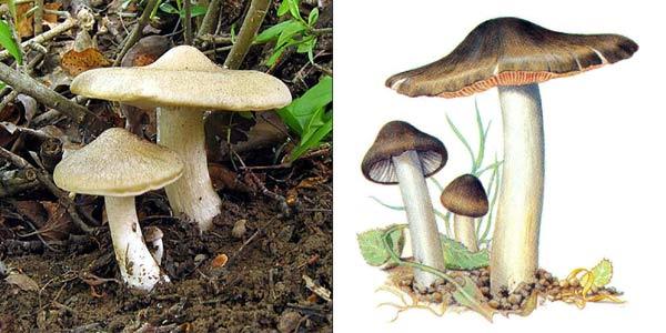 Энтолома садовая, или энтолома щитовидная, или энтолома терновниковая, или энтолома щитковая - Entoloma clypeatum (Fr.) Kumm.