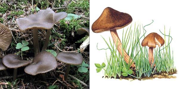 Энтолома весенняя, или розовопластинник весенний - Entoloma vernum Lund., или Rhodophyllus vernus