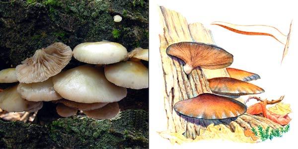 Крепидот мягкий, или крепидот каштановый - Crepidotus mollis (Fr.) Kumm.