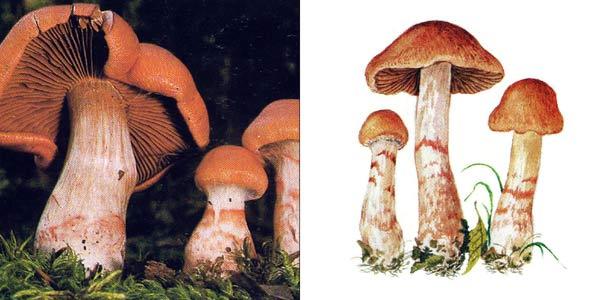 Паутинник браслетчатый, или паутинник красный - Cortinarius armillatus (Fr.) Fr.