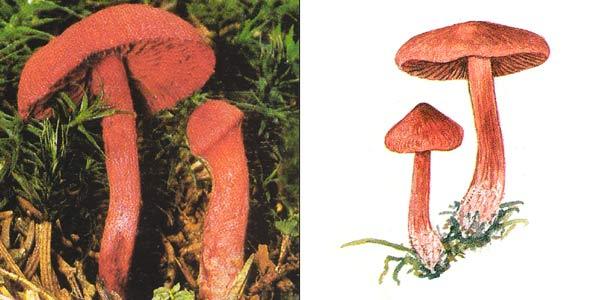 Паутинник кроваво-красный - Cortinarius sanguineus (Fr.) Fr., или Dermocybe sanguinea (Fr.) Wunsche