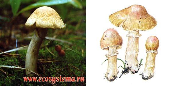 Колпак кольчатый, или приболотник белый, или розитес тусклый - Rozites caperata (Fr.) Karst.