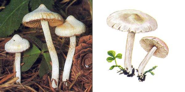 Волоконница земляная, или волоконница землисто-пластинковая, или иноцибе обыкновенный - Inocybe geophylla (Fr.) Kumm.