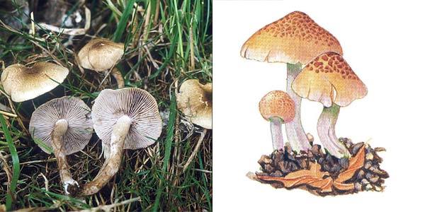 Волоконница разорванная - Inocybe lacera (Fr.) Kumm.